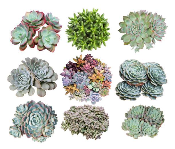 miniatur-sukkulenten isoliert - dachwurz stock-fotos und bilder