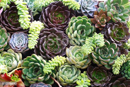 istock Miniature succulent plants 510059930