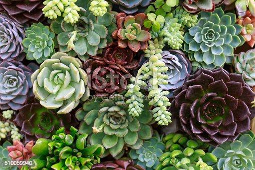 istock Miniature succulent plants 510059940
