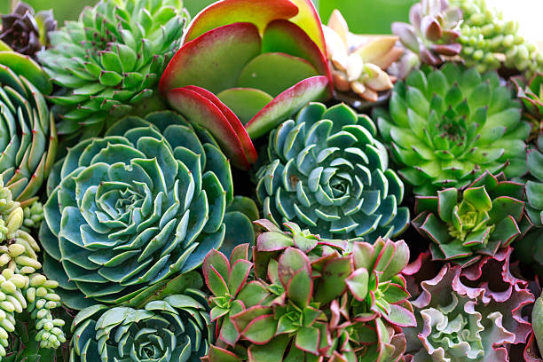 Miniature succulent plants Miniature succulent plants sedum plant stock pictures, royalty-free photos & images