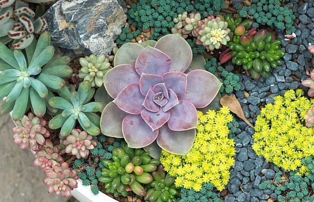 Miniature succulent plants Miniature succulent plants in garden sedum plant stock pictures, royalty-free photos & images