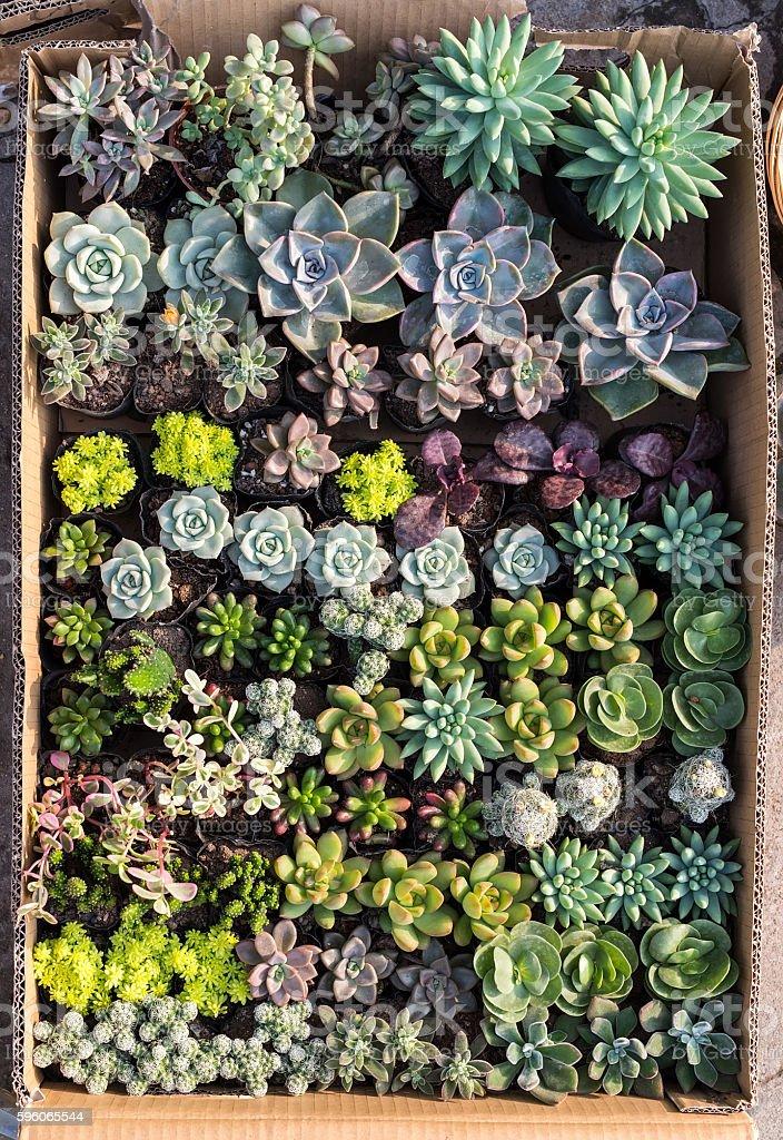 Miniature succulent plants royalty-free stock photo