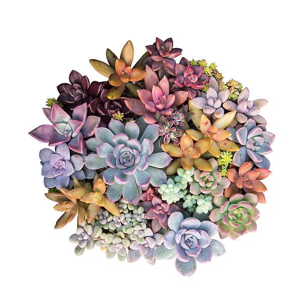 plantes succulentes miniature  - plante grasse photos et images de collection