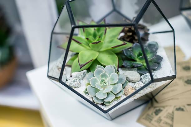 Miniature succulent plants Beautiful miniature succulent bonsai plants and houseplants sedum plant stock pictures, royalty-free photos & images