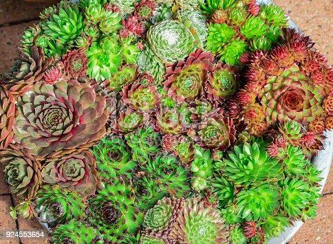 istock Miniature succulent plants 924553654