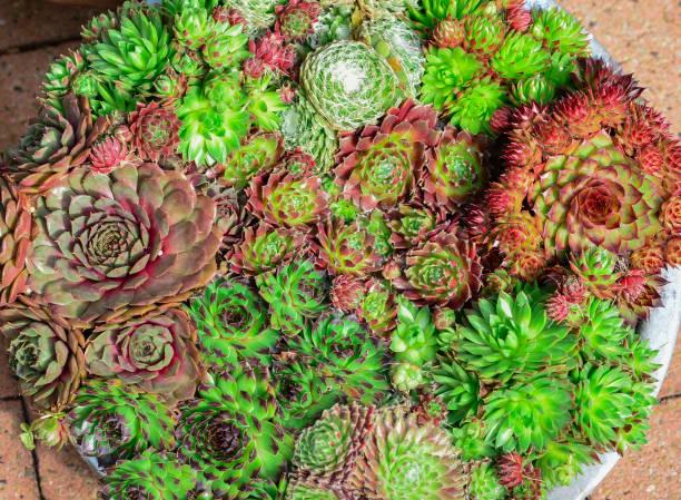 miniatur saftige pflanzen - dachwurz stock-fotos und bilder