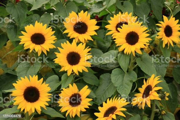 Photo of Miniature Sunflowers