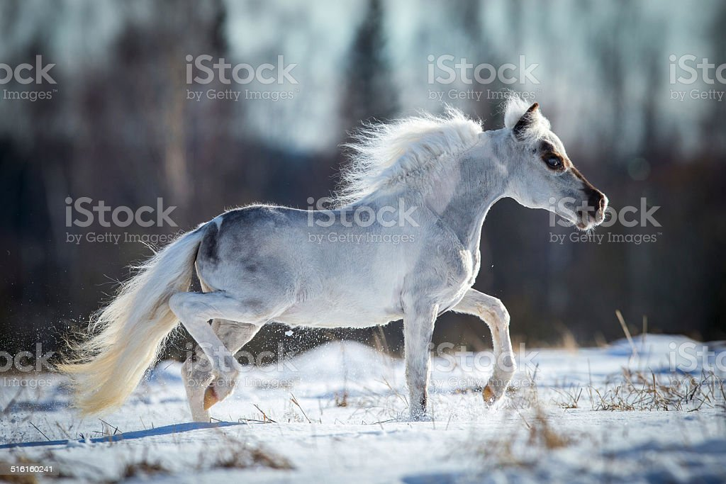 Miniature white horse runs in snow stock photo