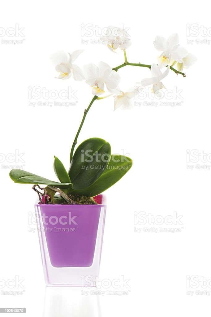 miniature white orchid arrangement centerpiece in vase isolated stock photo