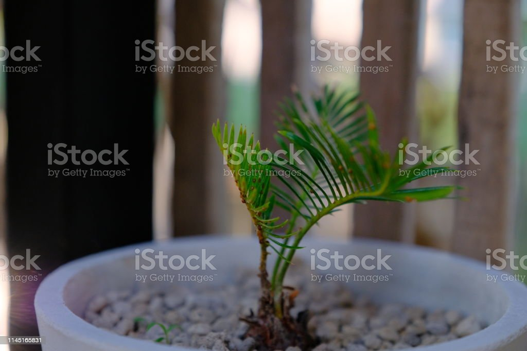 Minimal Palm Bonsai For Landscaping Stock Photo Download Image Now Istock