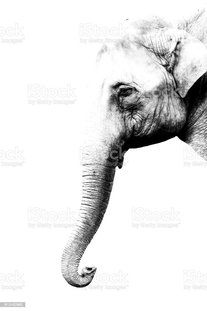 minimalism monochrome animal - Elephant stock photo