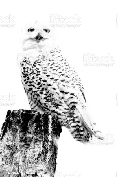 Minimalism monochrome animal snowy owl picture id912433044?b=1&k=6&m=912433044&s=612x612&h=1i gviudcfn4twuqwm3ilz7fvjnxzgo7bbborw20oxo=