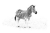 minimalism monochrome animal - Zebra