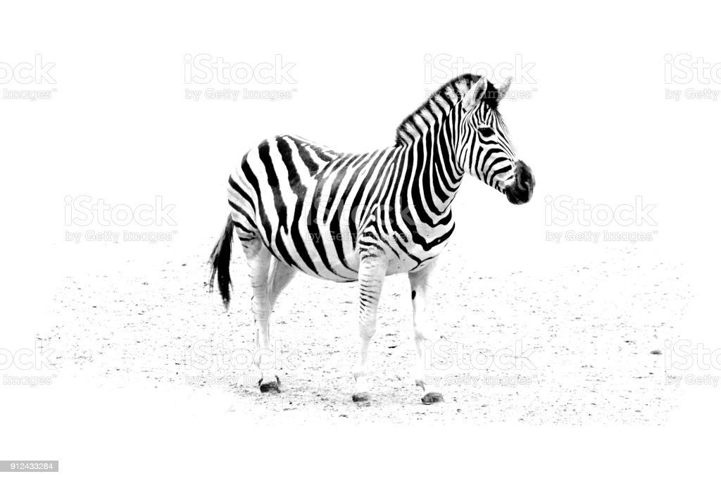 minimalism monochrome animal - Zebra stock photo