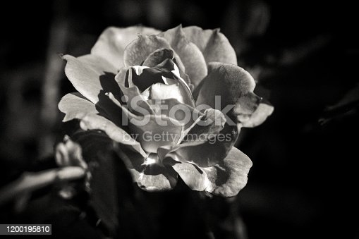 155139080istockphoto Minimalism white rose 1200195810