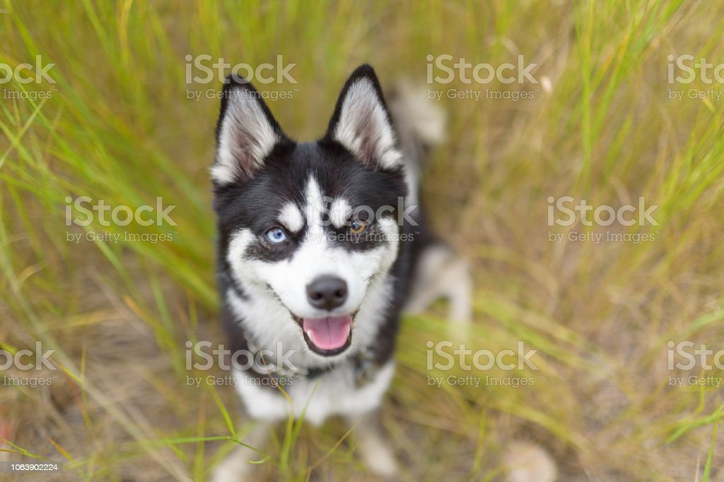 Minin husky with 2 different coloured eyes smiling with tongue out in wildflowers stock photo