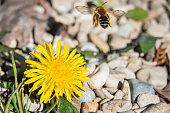 Mining bee (Andrena sp.) flying away from dandelion (Taraxacum officinale) flower in springtime.