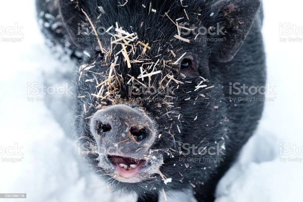 Minipig im Schnee mit Stroh gedeckt – Foto