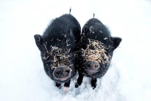 Minischweine im Schnee mit Stroh gedeckt – Foto