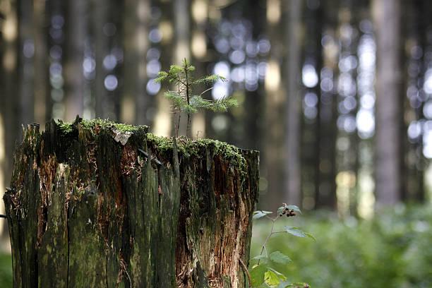 Mini-Fichte auf Baumstumpf – Foto