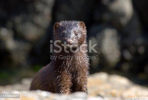 Cute & wet little mink posing