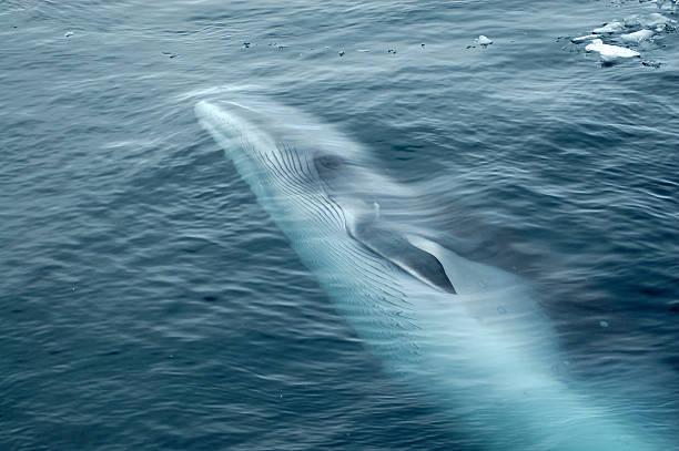 Minke Whale Swimming in Ocean stock photo
