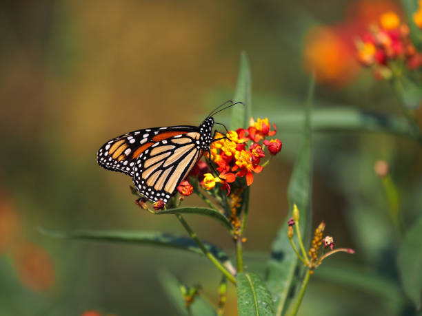 Minnesota Monarch Butterfly stock photo