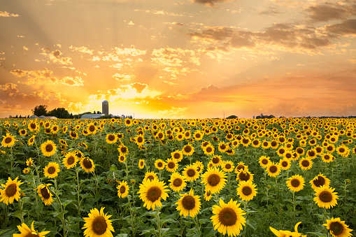 Sunflower Field and a Dramatic Sky Shot in Minnesota