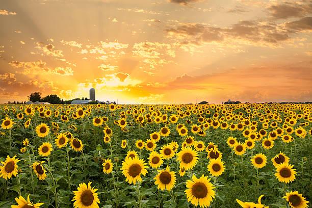 minnesota sonnenblume-feld und dramatischer himmel - traumscheune stock-fotos und bilder