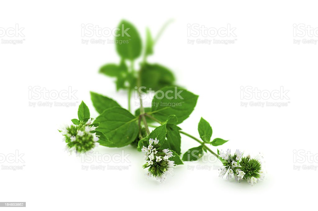 mint branch royalty-free stock photo