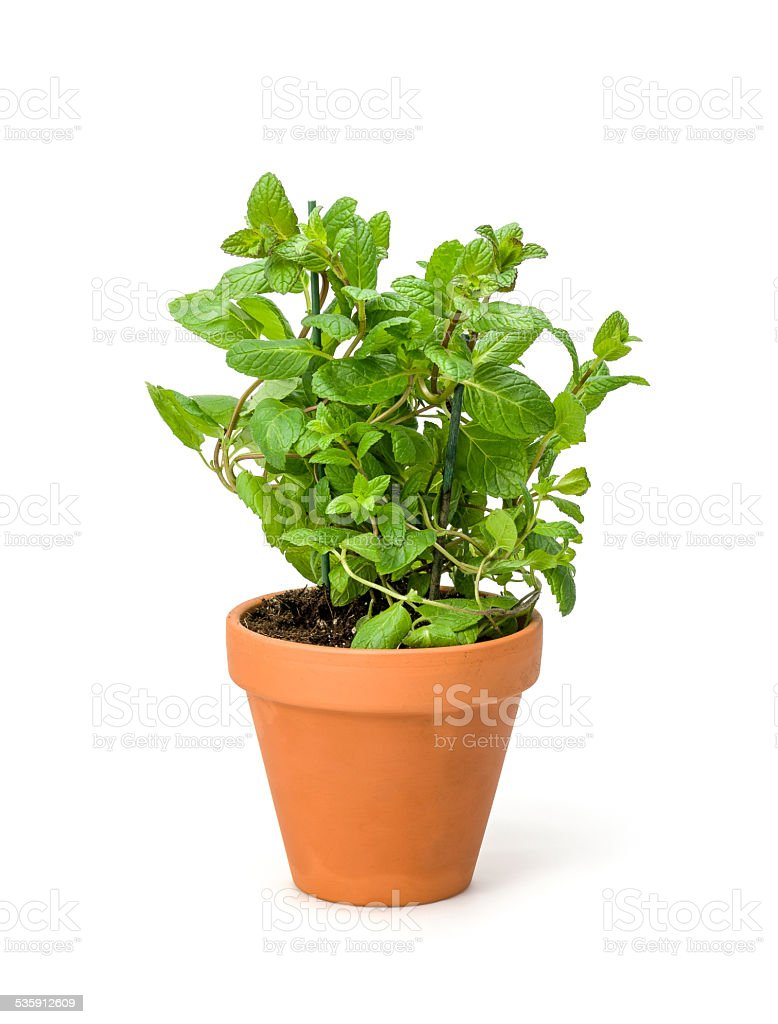 Mint in a clay pot stock photo