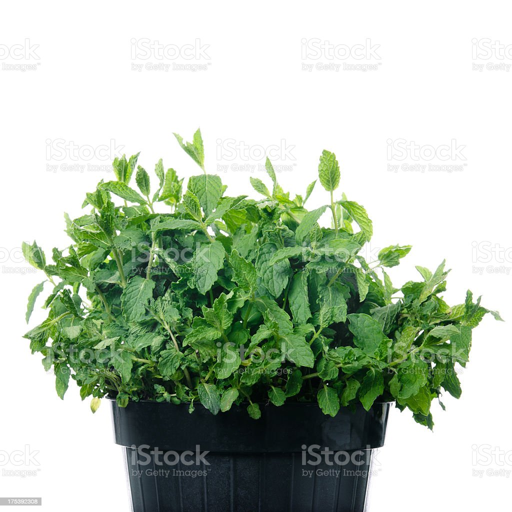Mint in a flower pot royalty-free stock photo