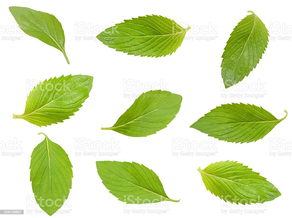 Mint leaf stock photo