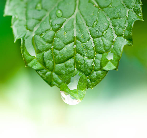 Mint leaf with drop of water on end stock photo
