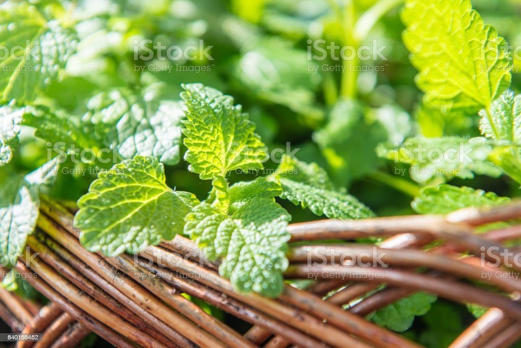 Mint leafs in the garden stock photo