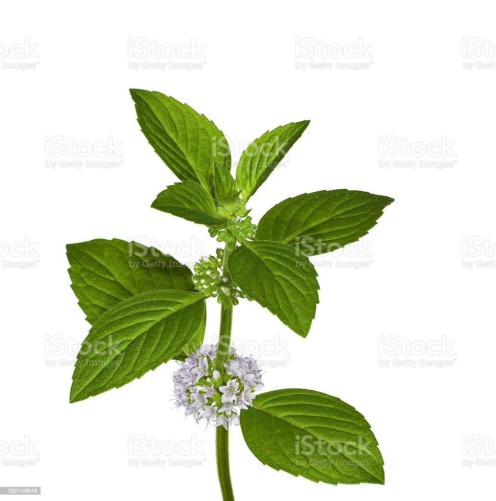 mint leaves and flowers on white royalty-free stock photo