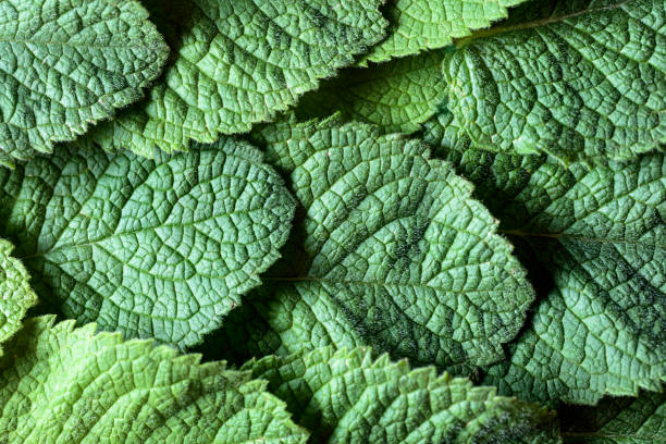 Mint leaves background. stock photo