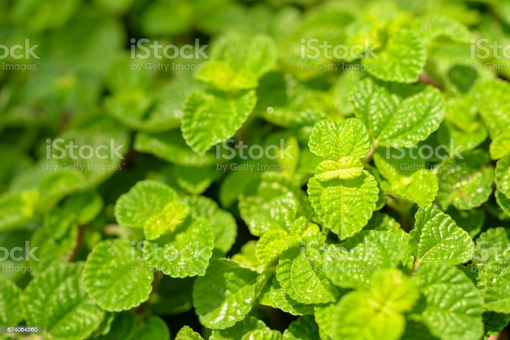 Mint leaves background royalty-free stock photo