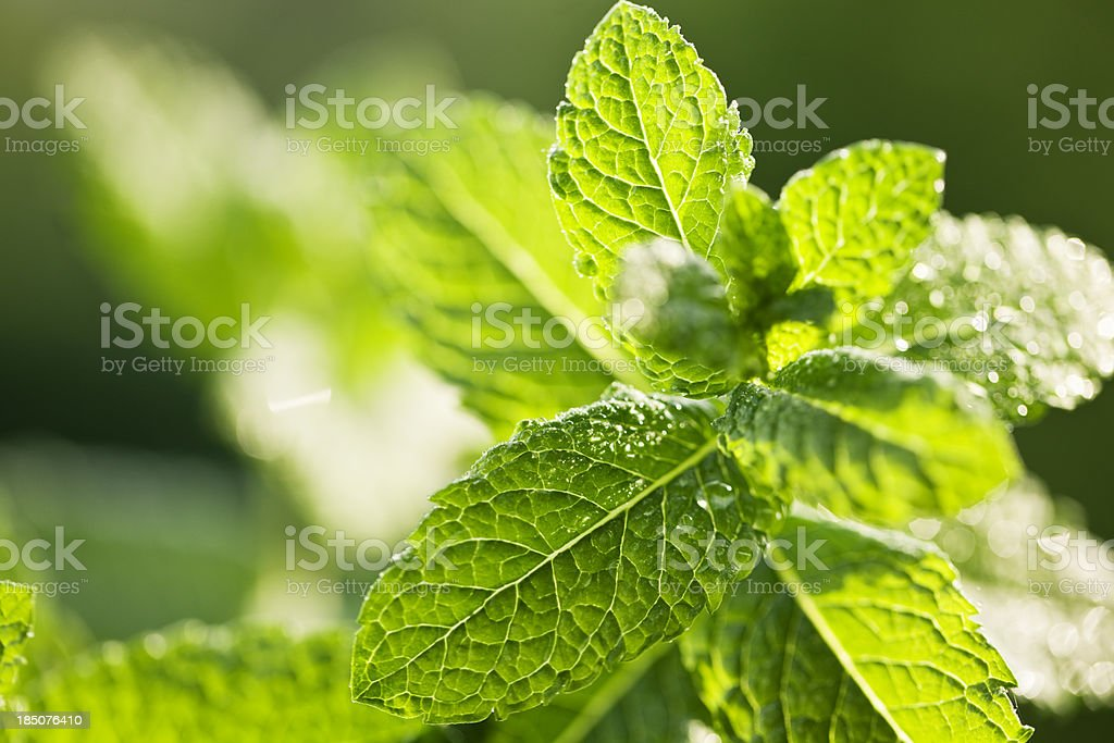 mint leaves close-up water drop stock photo