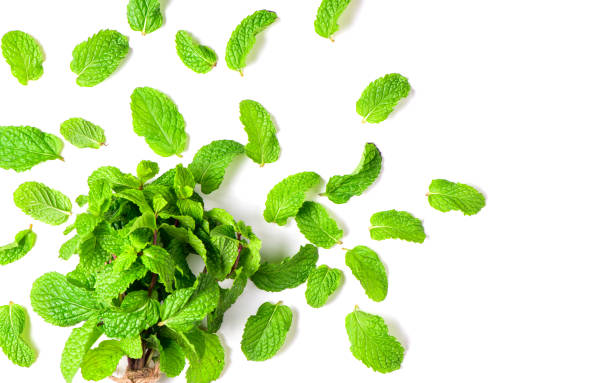 Mint leaves isolated on white background, Herbs and Spices stock photo