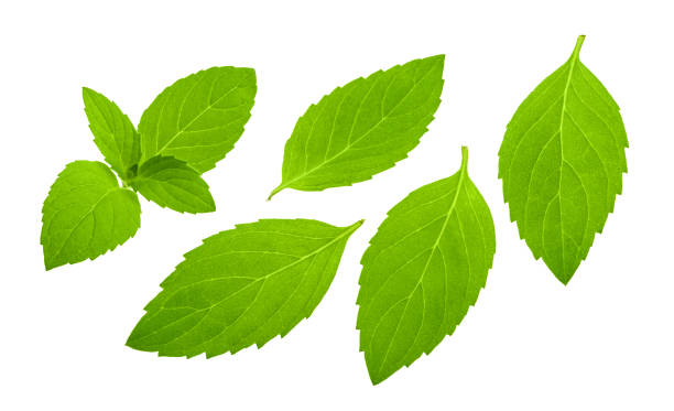 mint leaves isolated stock photo