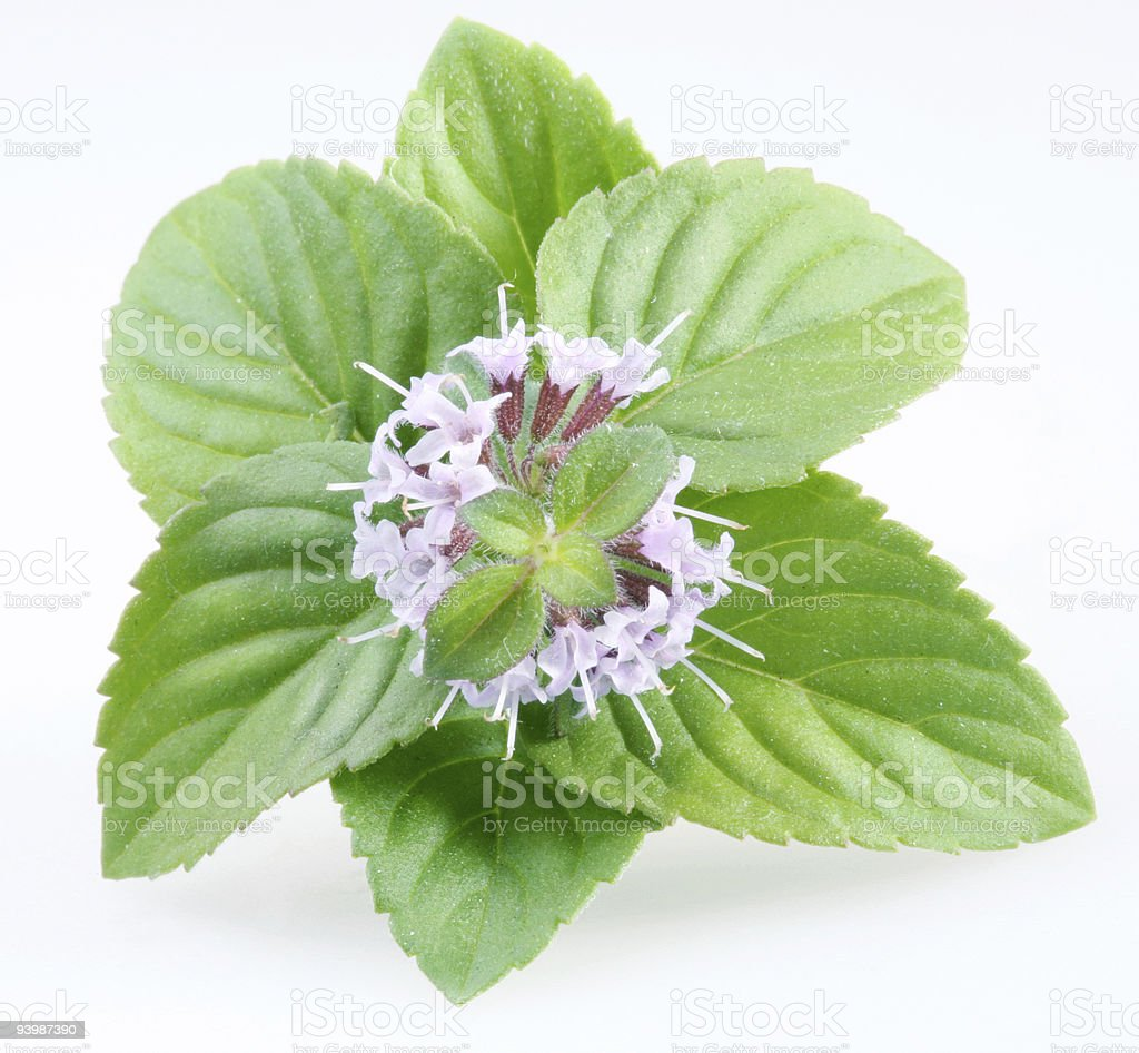 Mint on a white background royalty-free stock photo