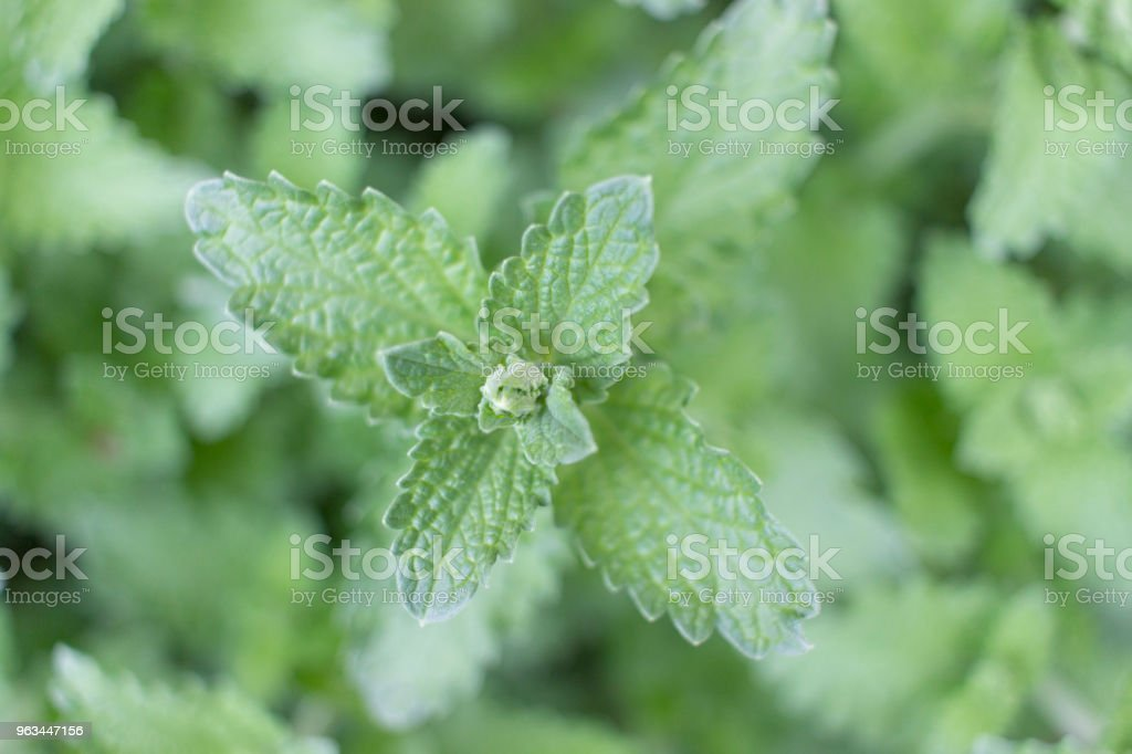 Mint Plant Close Up stock photo