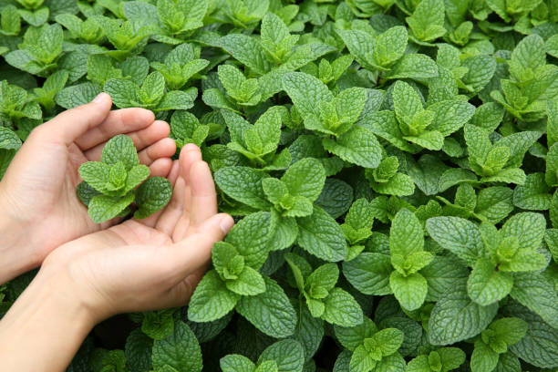 Mint plant grow at vegetable garden stock photo