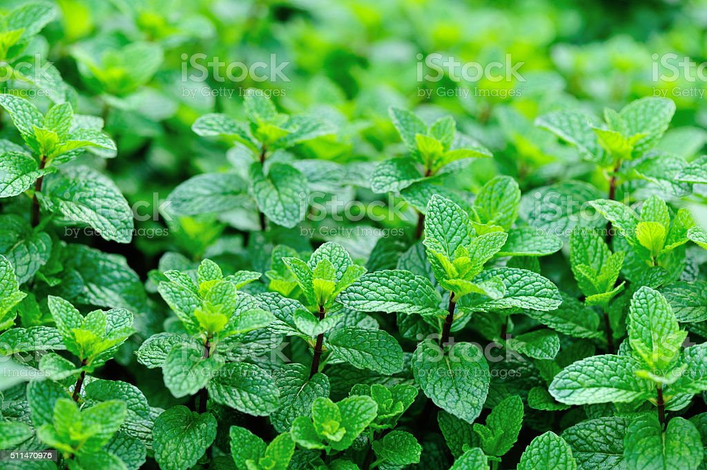 mint plant grow at vegetable garden stock photo