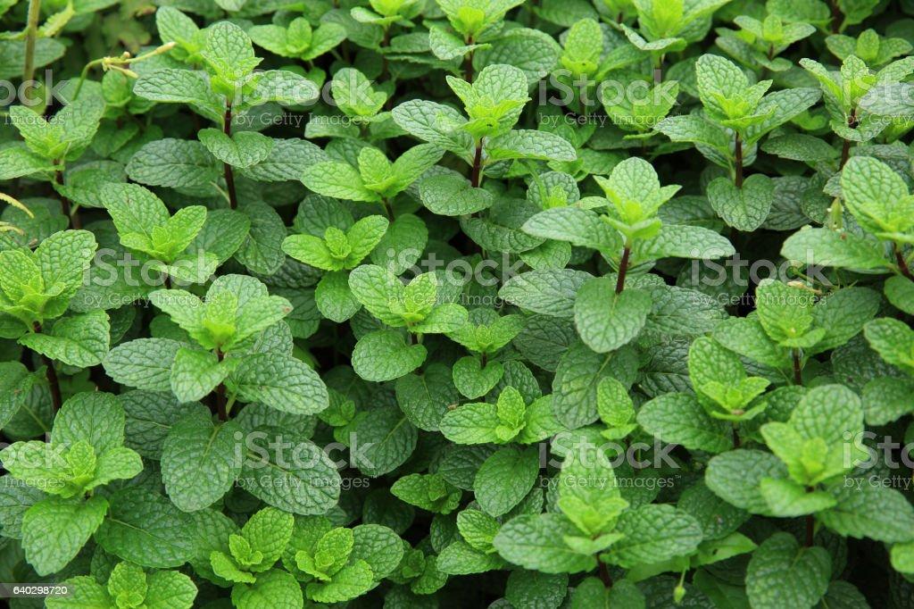 Minze Pflanze wächst im Gemüsegarten  – Foto