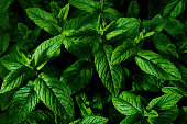 istock Mint plant, Mentha, growing in the springtime 1226248888