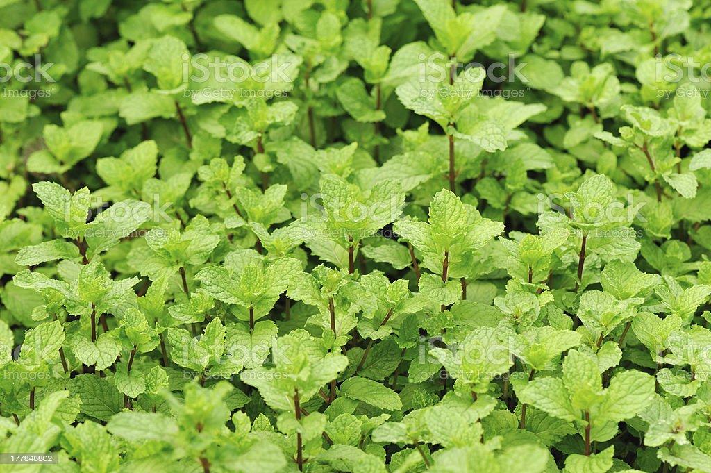 mint plants royalty-free stock photo