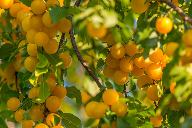 Mirabelle plum (Prunus domestica subsp. syriaca) and branches close-up stock photo