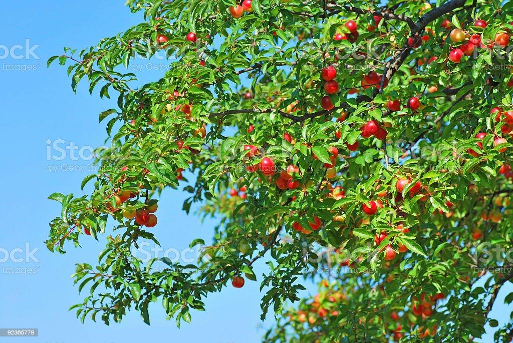 Mirabelle plum tree royalty-free stock photo